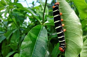 Caterpiller-in-Barbados