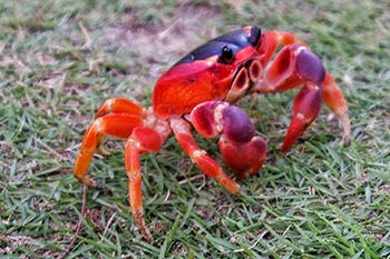 Touloulou Crab